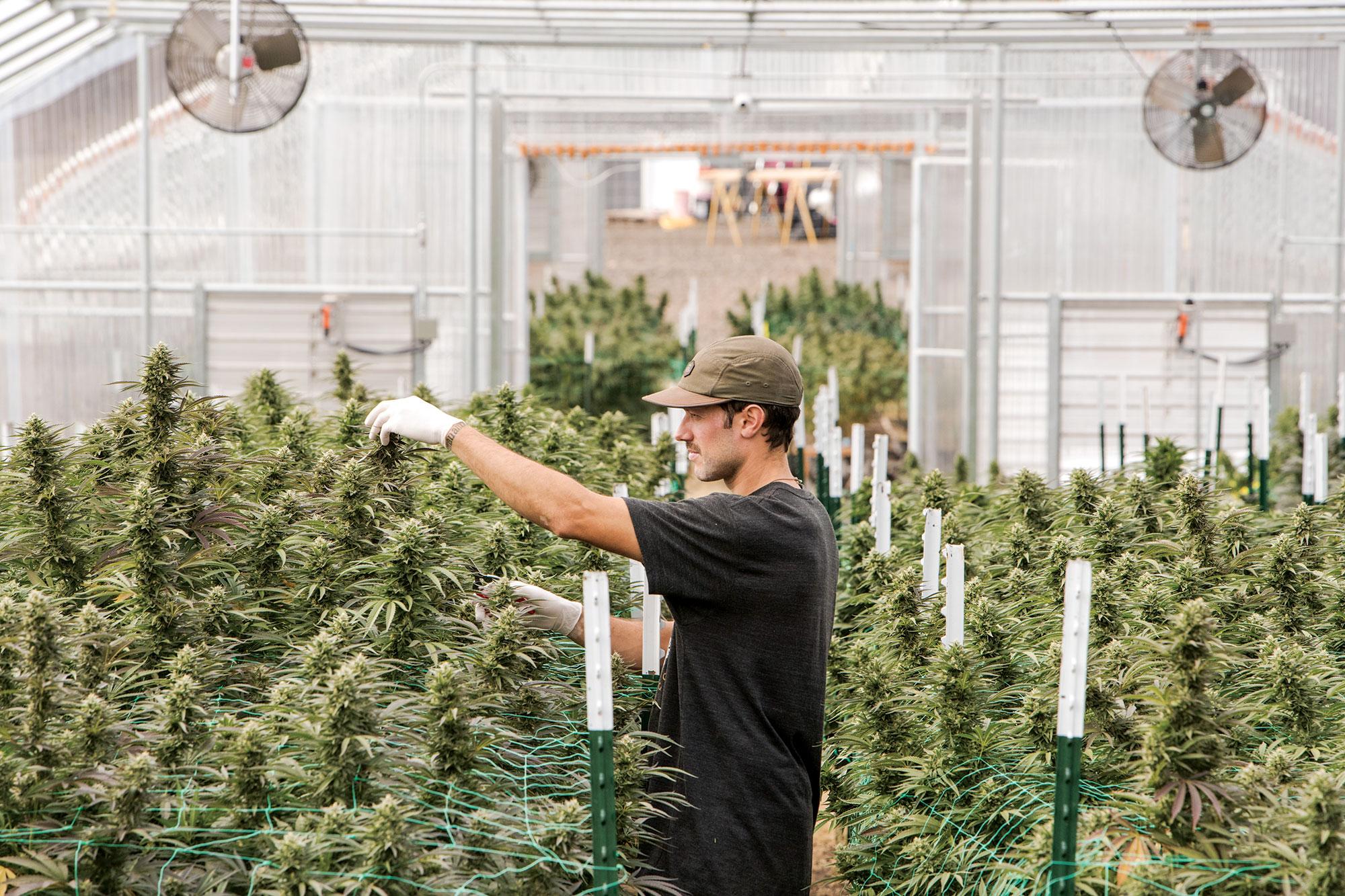 marijuana fiming