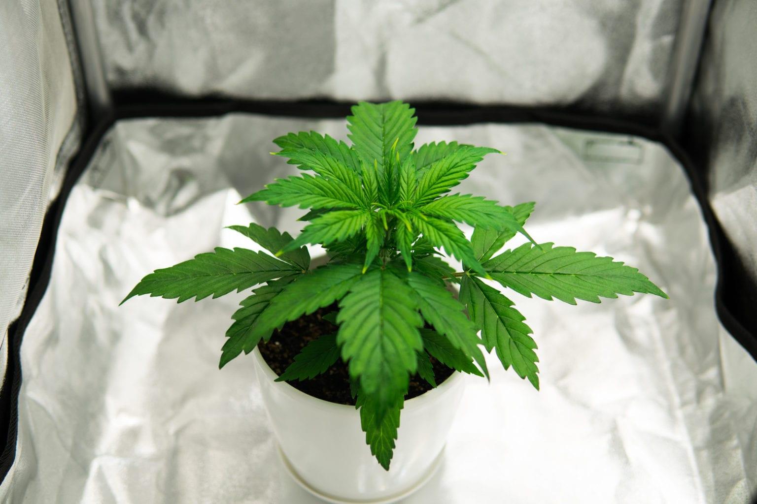 marijuana topping